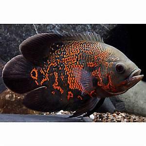 Tiger Oscar Cichlid | fish Goldfish, Betta & More | PetSmart
