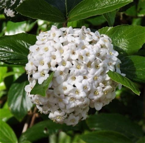Fragrant Shrubs  Mike's Garden Top 5 Plants