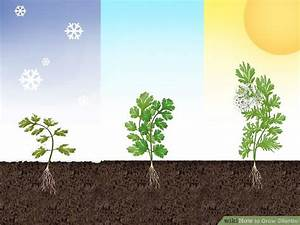 Expert Advice on How to Grow Cilantro - wikiHow