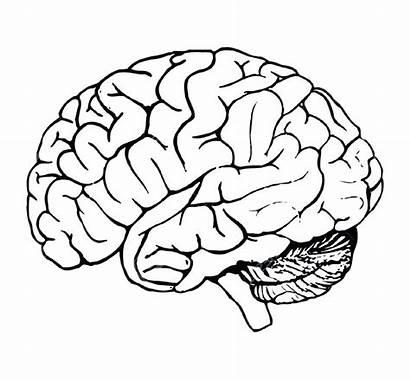 Brain Coloring Printable Pages Anatomy Getcolorings Head