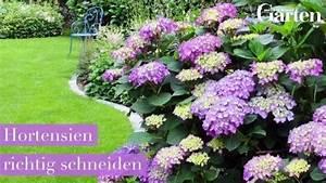 Hortensien Schneiden Anleitung : die 25 besten ideen zu hortensien garten auf pinterest ~ Lizthompson.info Haus und Dekorationen