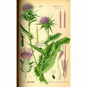 Chardon Marie Plante : chardon marie plante coupee iphym herboristerie silybum marianum ~ Dode.kayakingforconservation.com Idées de Décoration