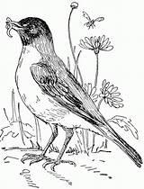 Robin Coloring Garden Flower Bird American Drawing Sheet Pages Getdrawings Hood Wonderful sketch template