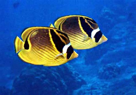 File:Raccoon butterflyfish.jpg - Wikimedia Commons