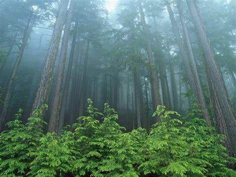 Evergreen Forest Olympic National Park Washington Trees
