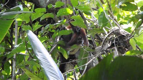 boa constrictor eats howler monkey   video