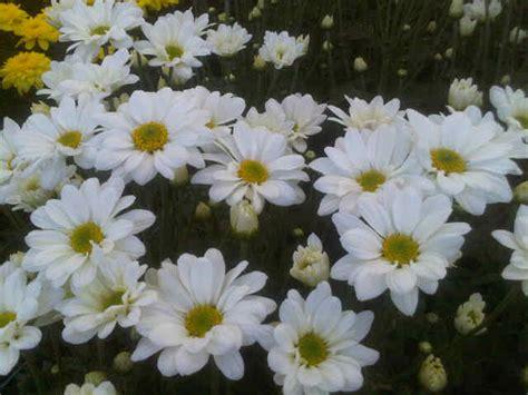 jual tanaman krisan aster putih bibitbungacom