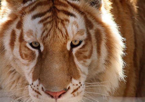 Different Liger Lion Tiger Image Favim