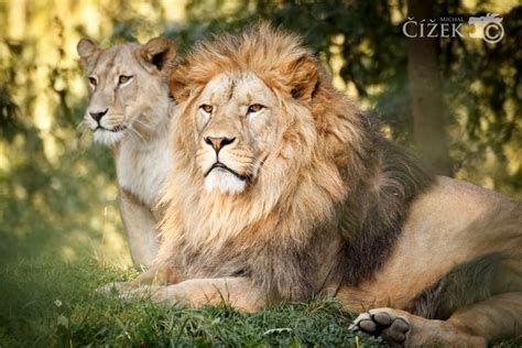 king  queen  lion redmich  deviantart