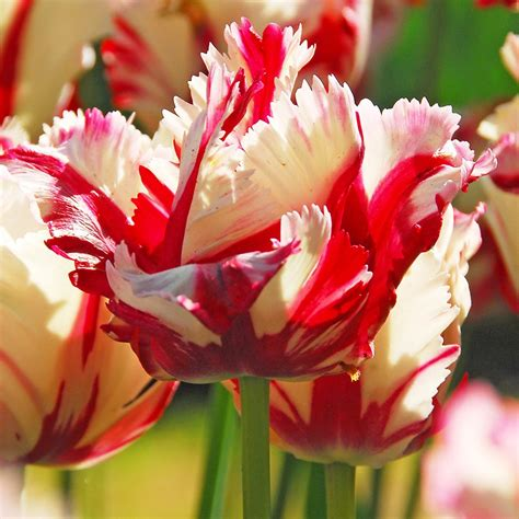 buy parrot tulip bulbs tulipa estella rijnveld delivery by crocus