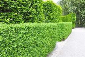 Portugiesischer Lorbeer Gelbe Blätter : portugiesischer kirschlorbeer lorbeer ~ Eleganceandgraceweddings.com Haus und Dekorationen