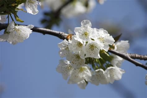 Free Images : branch fruit flower pollination food