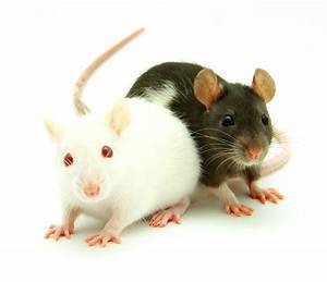 Animals, Mice, Wallpapers, Hd, Desktop, And, Mobile, Backgrounds