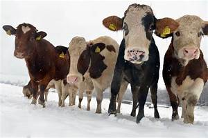 Herd Of 90 Cows Cause Explosion In Farm Shed With Their