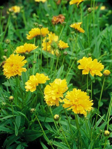 common perennial flowers common coreopsis hgtv