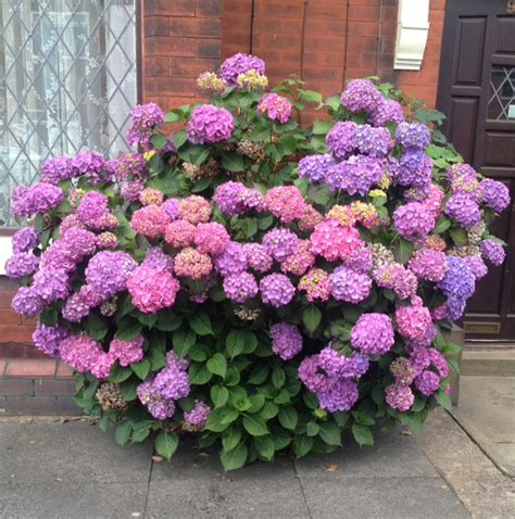 how to change hydrangea colour learn now