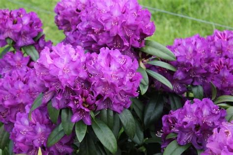 purple passion rhododendron zone  grows