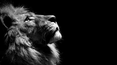 lion black  white laptop full hd p hd