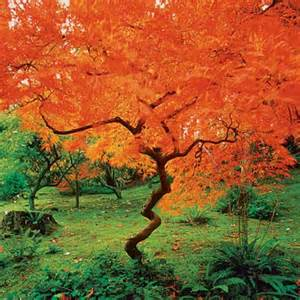 maple 10 best trees and shrubs for fall color this house