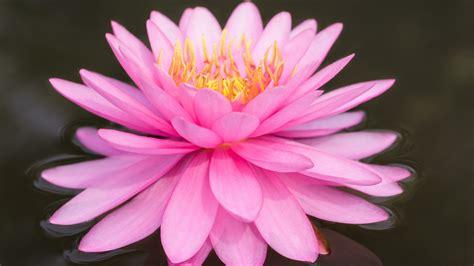 粉红色莲花电脑桌面壁纸高清大图预览1920x1080_花卉壁纸下载_彼岸桌面