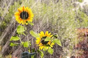 Sonnenblume Im Topf : sonnenblumen gie en so machen sie 39 s richtig ~ Orissabook.com Haus und Dekorationen