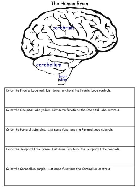 the human brain worksheets homeschool helper s