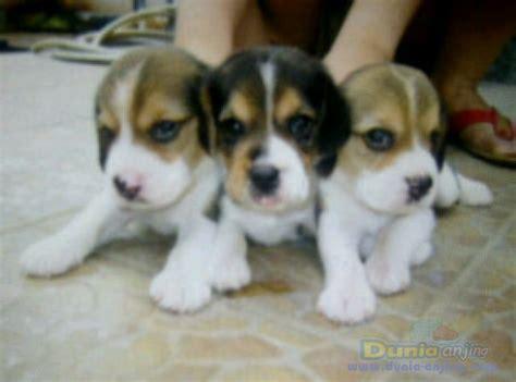 dunia anjing jual anjing beagle big sale beagle murah