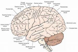 Lateral View Of The Cerebral Cortex Showing The Principal