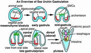 Sea Urchin Gastrulation - General Overview