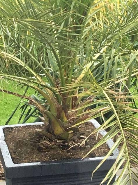 Yucca Palme Draußen by Welche Palme Habe Ich Und Wie Kann Ich Sie Drau 223 En