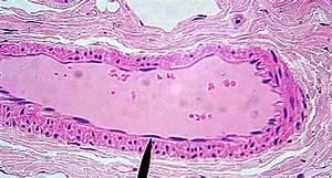 Epithelial tissue SLIDES at The Ohio State University ...
