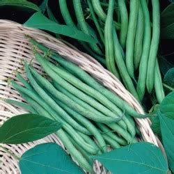 buy dwarf french bean seeds delinel  marshalls seeds