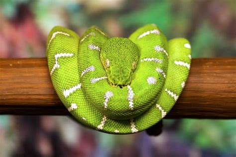 This Snake Is Sitting Exactly Like The One In The Info