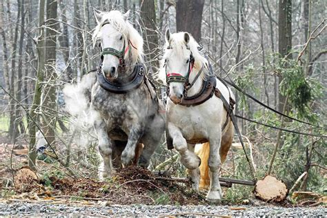 die vorteile des pferdeeinsatzes im wald starke pferde