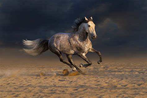 andalusian horse running desert grey painting dust sand horses head run facts face breeds its unique petguide breed convex profile