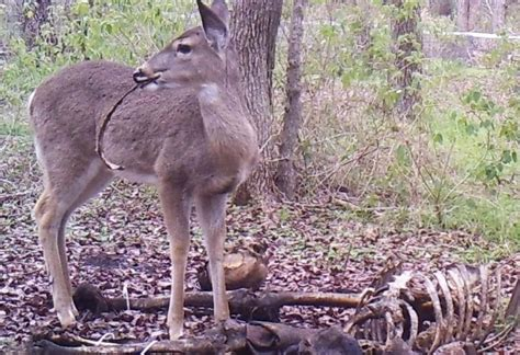 'zombie Deer' Caught Feasting On Human Remains On Camera