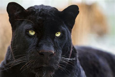 all black jaguar fondos de pantalla animales salvajes wallpapers hd