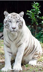 Pics For > White Things In Nature   Pet tiger, White tiger ...
