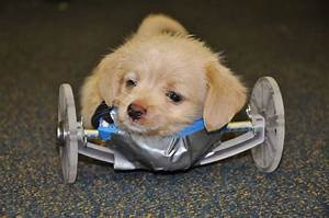 Tumbles the puppy, born with no front legs, gets 3D ...