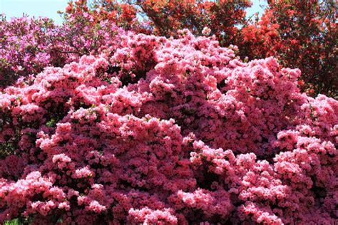 rhododendron en pot en hiver azal 233 e japonaise conseils de culture de taille et d entretien
