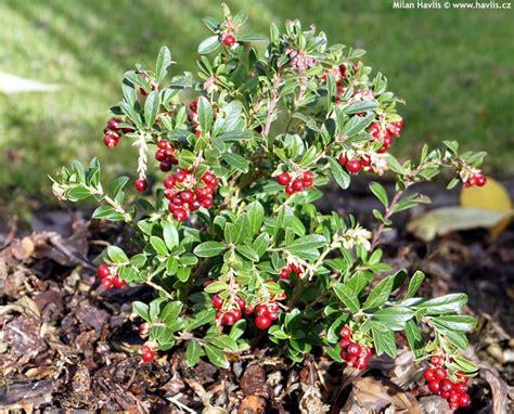 vitis idaea vaccinium koralle havlis cz cranberry 1689