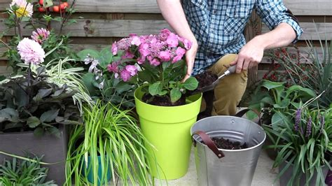planter citronnier en pot comment planter un hortensia en pot