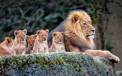Lions Lion