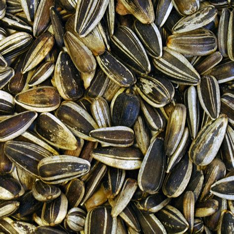 dr green small striped sunflower seeds 15kg