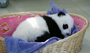 baby panda, basket, blanket, cute, panda, sleeping - image ...