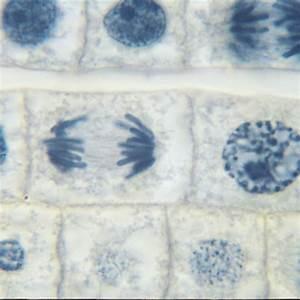 Ascaris And Onion Mitosis Microscope Slide Set