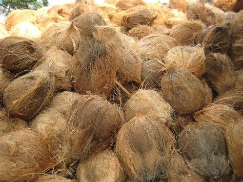 agen kelapa agen kelapa tua