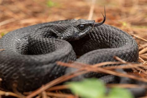 Eastern Hognose Snake   South Carolina Partners in ...