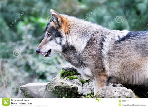 Hungry Wolf Stock Photos Image 29301653