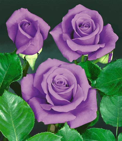 Rose Blue Saphir Topqualität Kaufen Baldurgarten